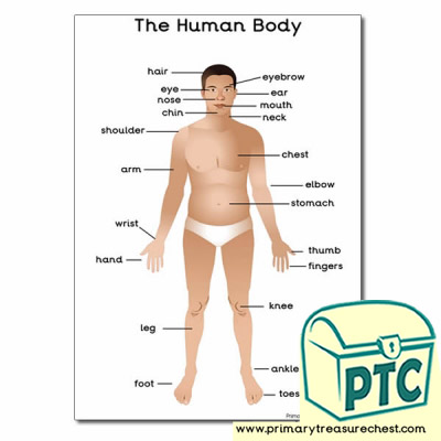 A4 'The Human Body' Poster with Labels
