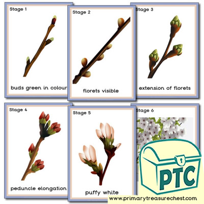Stages of Bud Development Poster