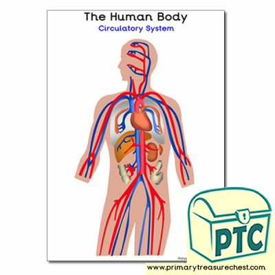 'The Human Body Circulatory System Poster