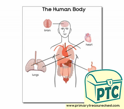 'Organs of the Human Body' poster