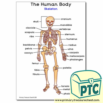 'Human Skeleton' A4 Poster (with labels)
