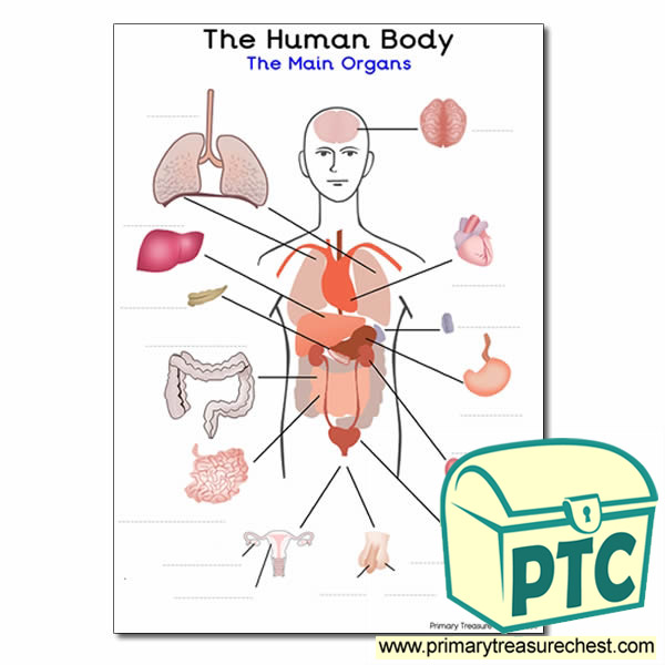 Picture of human body with organs labeled