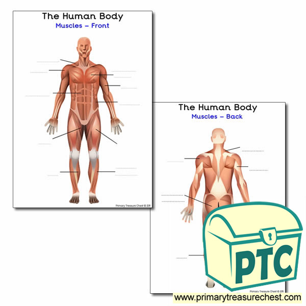 The Muscles of the Human Body Worksheet