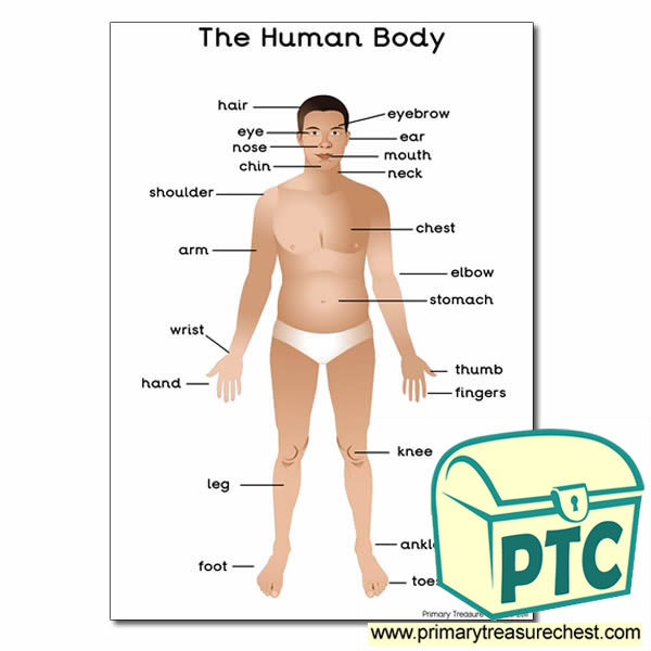 A3 'The Human Body' Poster with Labels