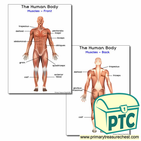 The Muscles of the Human Body Poster
