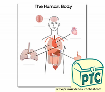 'Organs of the Human Body' Worksheet (with spaces to label)