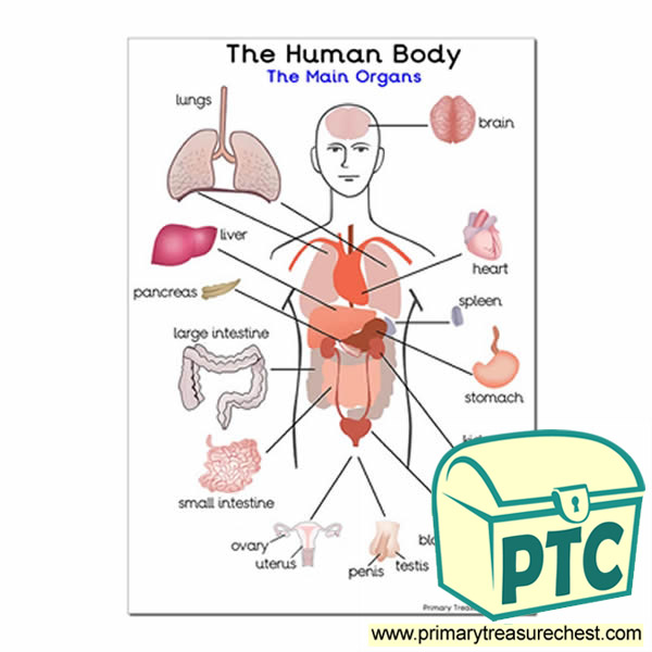 The Main Organs of the Human Body\' A3 Poster - Primary Treasure Chest