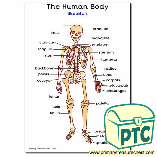 Human Skeleton A4 Poster With Labels Primary Treasure Chest