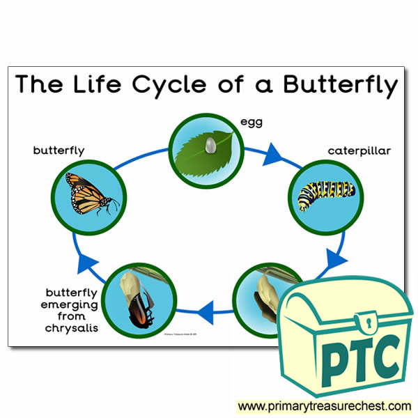 'The Life Cycle of a Butterfly' Poster - Primary Treasure ...