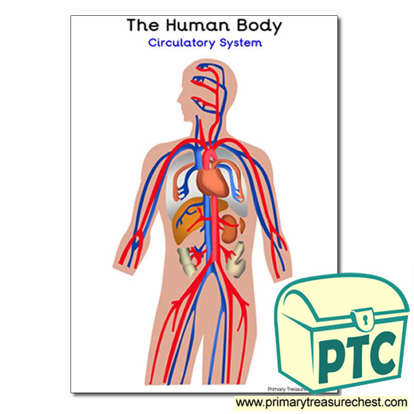 The Human Body Circulatory System Poster Primary Treasure Chest